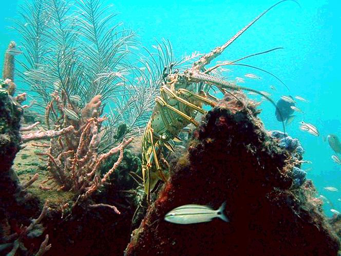 Florida Lobster Season Tail Grabber